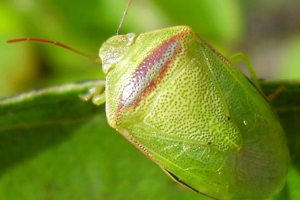 6-chinchedelaalfalfa